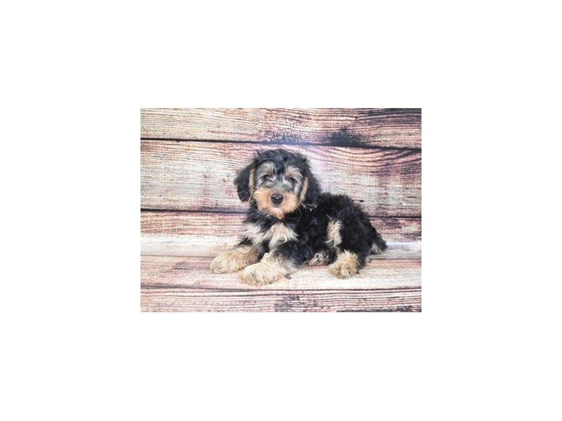 Yorkiepoo-Male-Black and Tan-2802827-Petland Jacksonville Florida