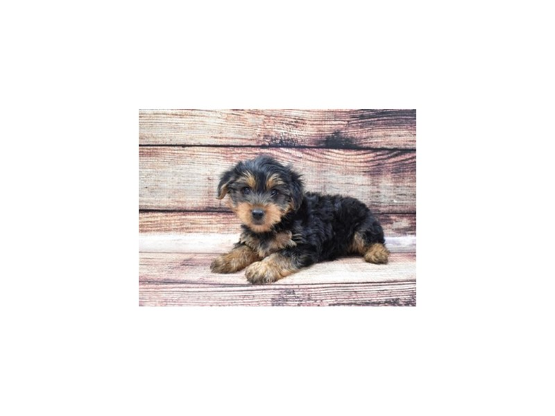 Yorkshire Terrier-Male-Black and Tan-2809959-Petland Jacksonville Florida