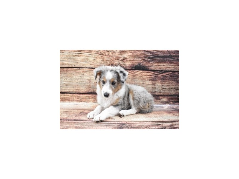 Shetland Sheepdog-Female-Blue Merle White and Tan-2810003-Petland Jacksonville Florida