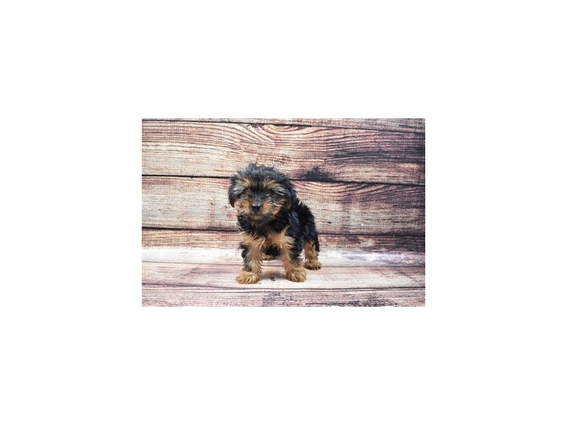Yorkshire Terrier-Female-Black and Tan-2826019-Petland Jacksonville Florida