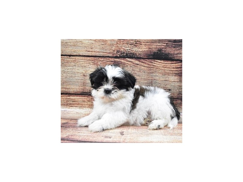 Shih Tzu-DOG-Female-Black and White-2826064-Petland Jacksonville Florida