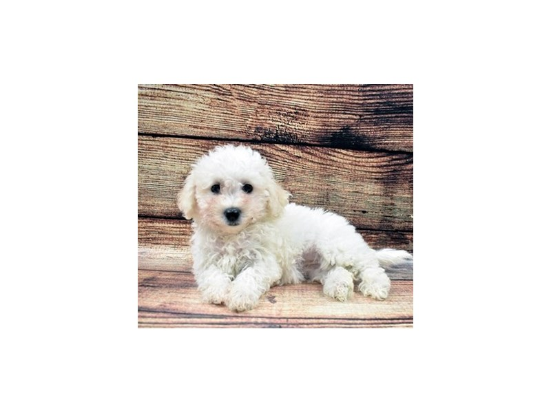 Bichon Frise-DOG-Female-White-2832529-Petland Jacksonville Florida