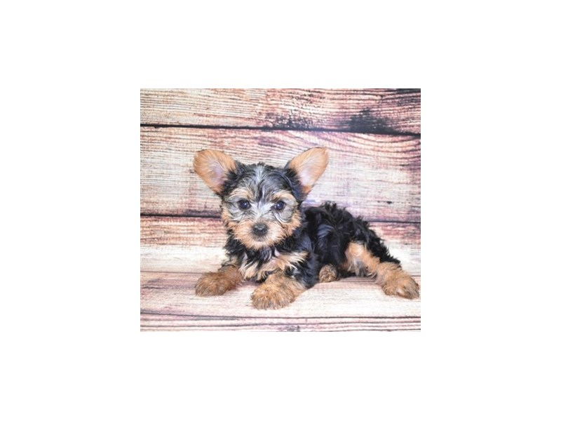 Yorkshire Terrier-Male-Black and Gold-2832589-Petland Jacksonville Florida