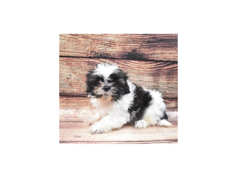 Shih Tzu-Female-Black Gold and White-2840664-Petland Jacksonville Florida