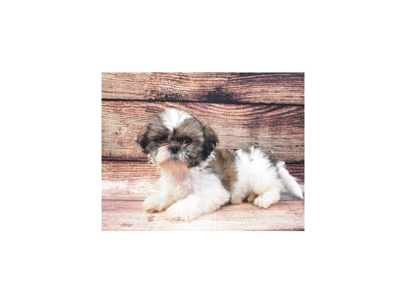 Shih Tzu-Male-Gold and White-2840734-Petland Jacksonville Florida