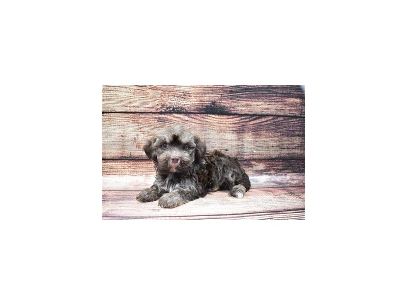 Havanese-Female-Chocolate Brindle-2848200-Petland Jacksonville Florida