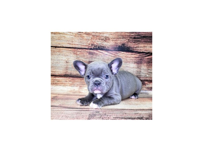 French Bulldog-Male-Blue-2862774-Petland Jacksonville Florida