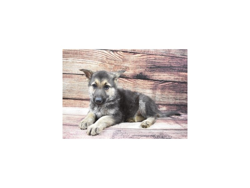 German Shepherd-Male-Black and Tan-2870433-Petland Jacksonville Florida