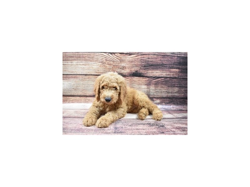 Goldendoodle 2nd Gen-Male-Red-2870727-Petland Jacksonville Florida