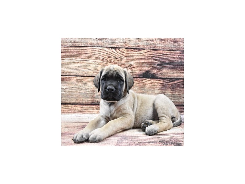 English Mastiff-Female-Fawn-2876030-Petland Jacksonville Florida