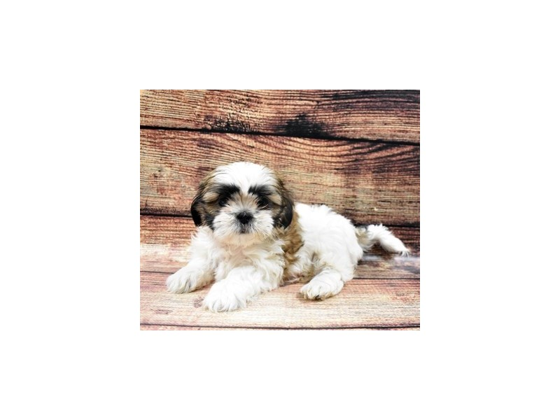 Shih Tzu-Female-Gold and White-2876052-Petland Jacksonville Florida