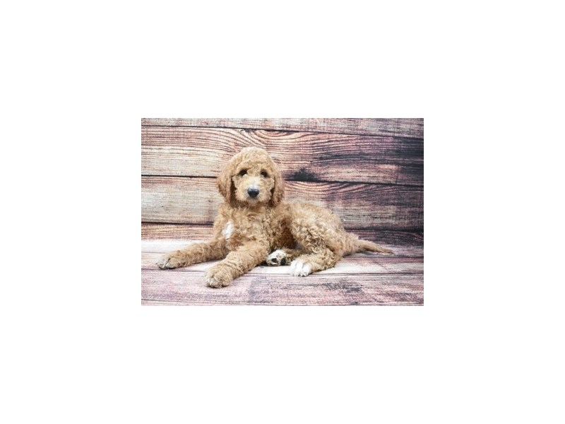 Goldendoodle 2nd Gen-Male-Red-2876076-Petland Jacksonville Florida