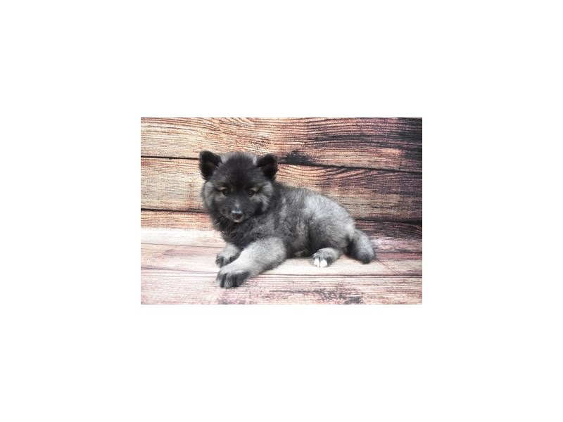 Keeshond-Female-Silver and Black-2883563-Petland Jacksonville Florida
