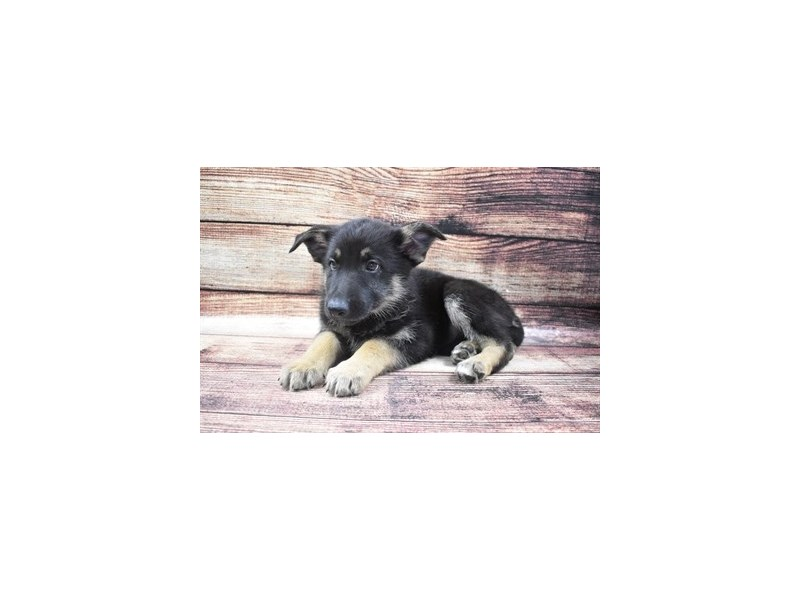 German Shepherd-Male-Black and Tan-2883578-Petland Jacksonville Florida