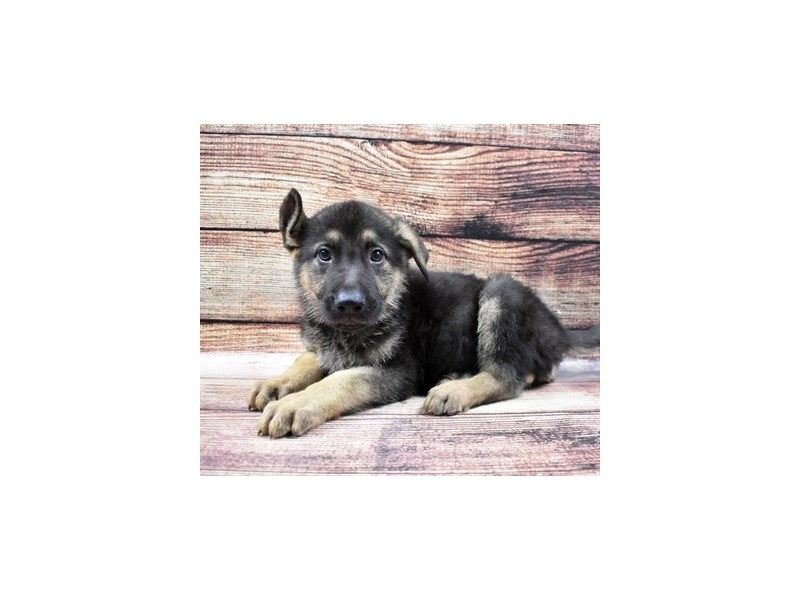 German Shepherd-Male-Black and Tan-2890790-Petland Jacksonville Florida