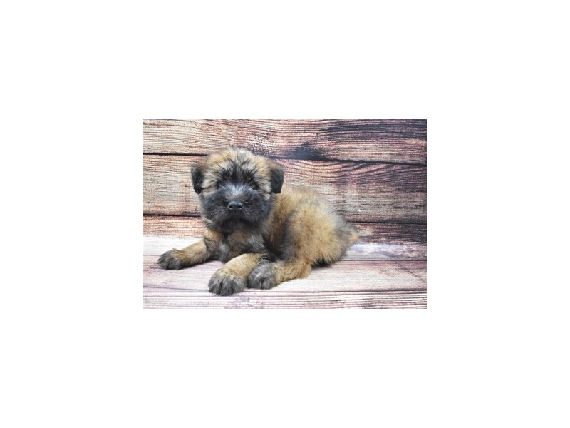 Soft Coated Wheaten Terrier-Female-Wheaten-2905249-Petland Jacksonville Florida