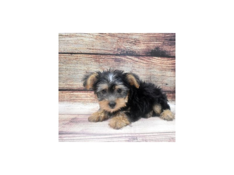 Silky Terrier-Male-Black and Tan-2905267-Petland Jacksonville Florida