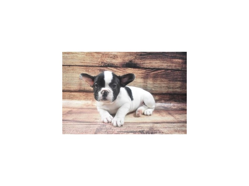French Bulldog-Female-Brindle and White-2890905-Petland Jacksonville Florida