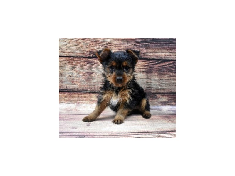 Yorkshire Terrier-Female-Black and Gold-2898114-Petland Jacksonville Florida