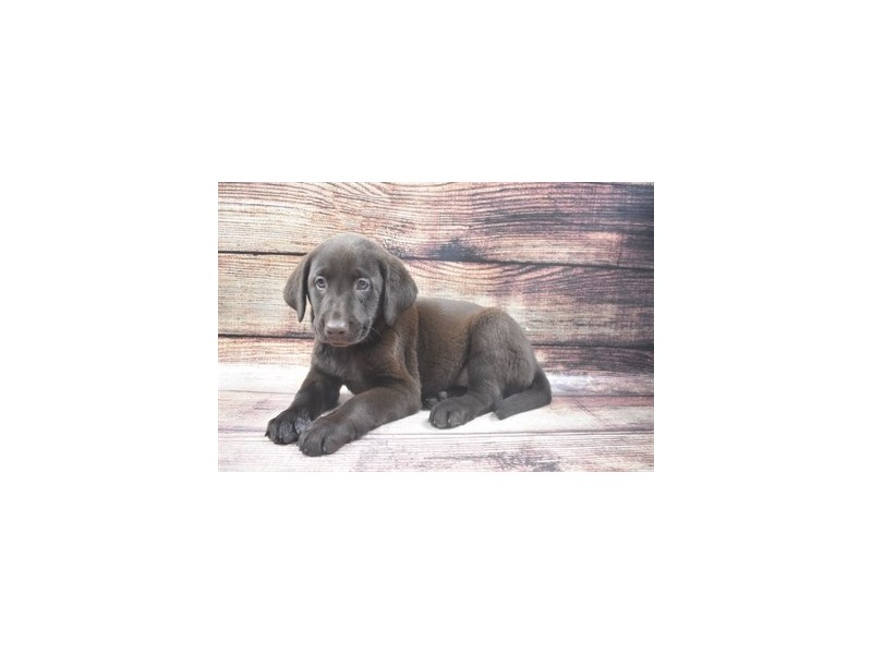 Labrador Retriever-Female-Chocolate-2911500-Petland Jacksonville Florida