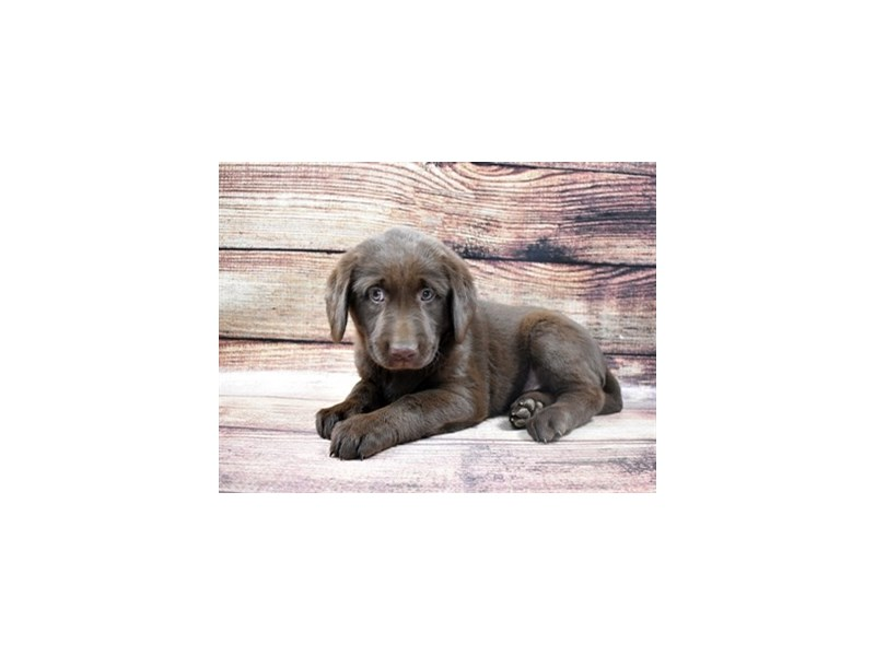 Labrador Retriever-Female-Chocolate-2925705-Petland Jacksonville Florida