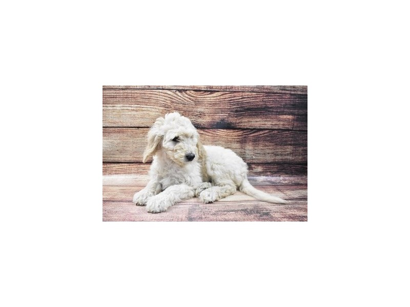Goldendoodle 2nd Gen-Female-Cream-2932890-Petland Jacksonville Florida