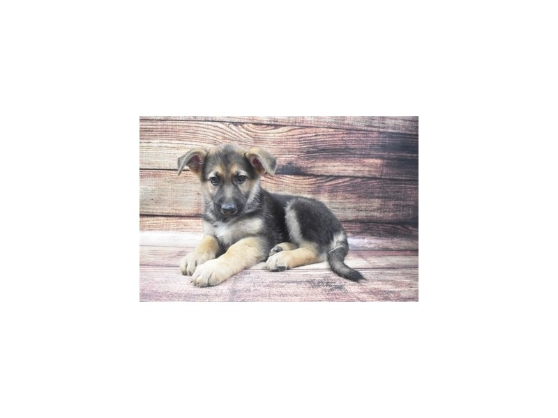 German Shepherd-Male-Black and Tan-2911729-Petland Jacksonville Florida