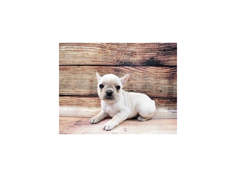 French Bulldog-Female-Cream-2932786-Petland Jacksonville Florida