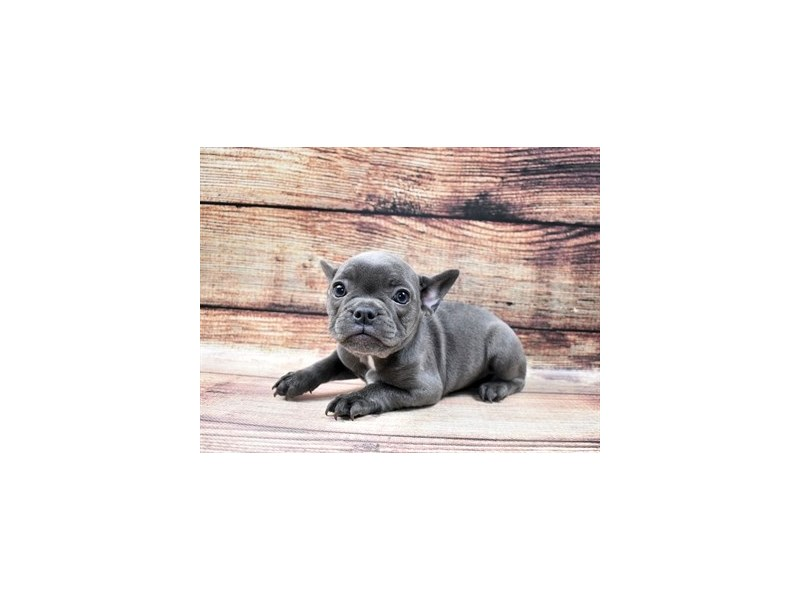 French Bulldog-Female-Blue-2932840-Petland Jacksonville Florida