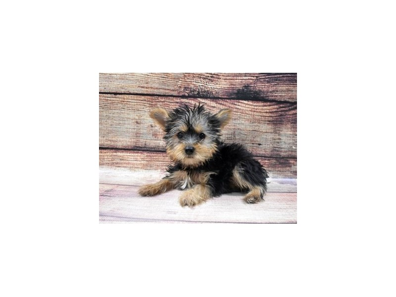 Yorkshire Terrier-Female-Black and Tan-2956252-Petland Jacksonville Florida