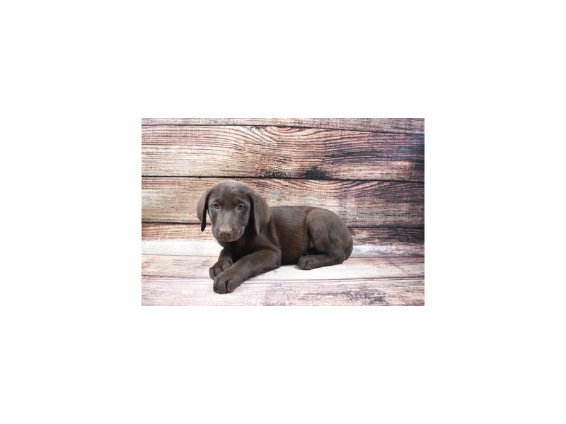 Labrador Retriever-Female-Chocolate-2956336-Petland Jacksonville Florida