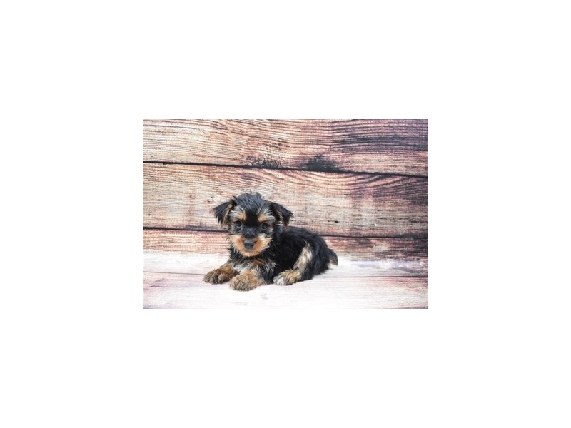 Yorkshire Terrier-Male-Black and Tan-2956411-Petland Jacksonville Florida