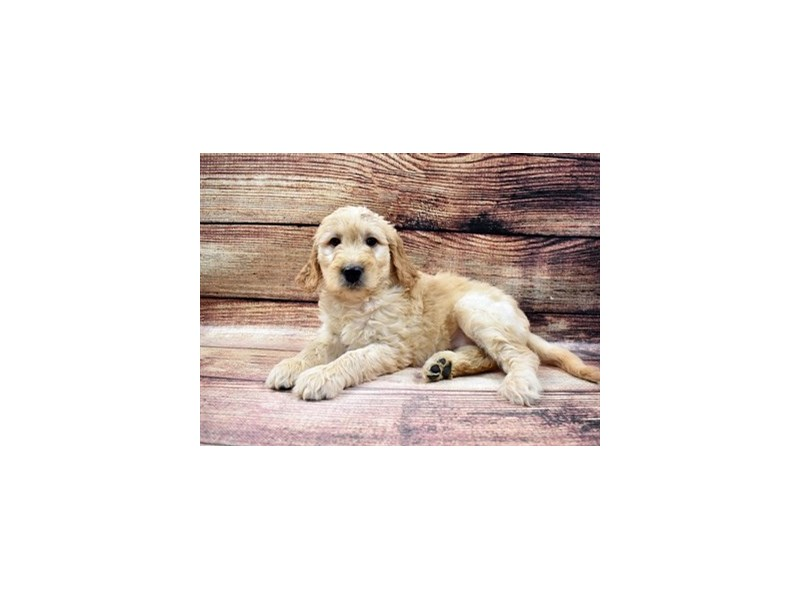 Goldendoodle-Female-Golden-2989581-Petland Jacksonville Florida