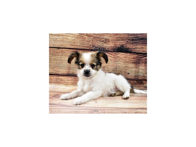 Papillon-Female-White and Sable-2956119-Petland Jacksonville Florida