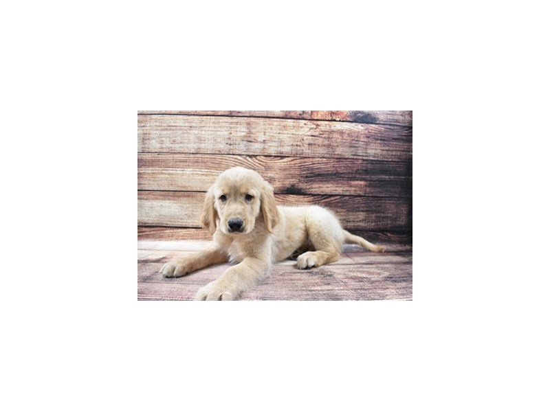 Golden Retriever-Male-Light Golden-3005915-Petland Jacksonville Florida