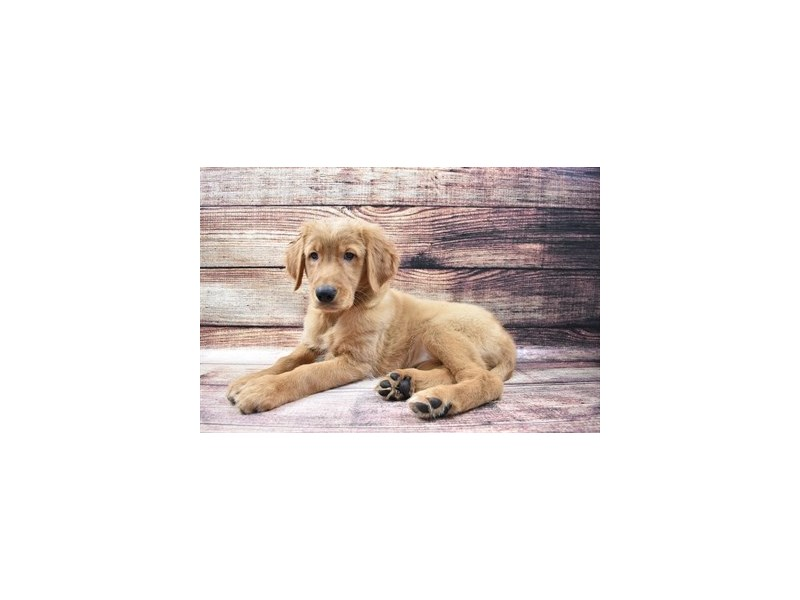 Golden Retriever-Female-Dark Golden-3005917-Petland Jacksonville Florida