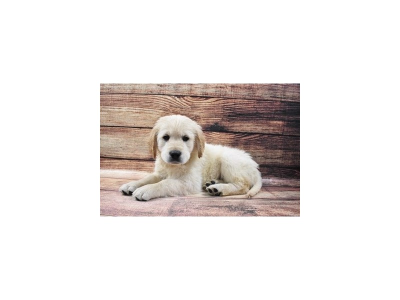 Golden Retriever-Male-Light Golden-3016031-Petland Jacksonville Florida