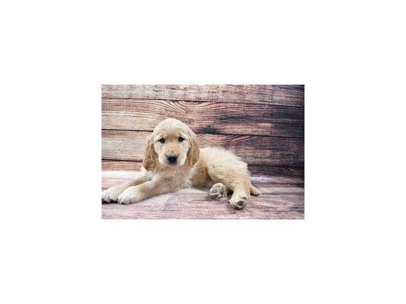 Golden Retriever-Female-Golden-3016067-Petland Jacksonville Florida