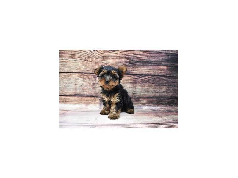 Yorkshire Terrier-Female-Black and Tan-3045746-Petland Jacksonville Florida