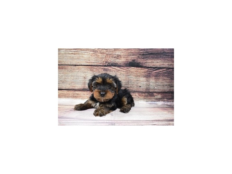 Yorkshire Terrier-Male-Black and Tan-3045753-Petland Jacksonville Florida