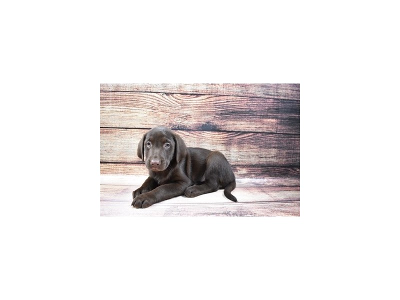 Labrador Retriever-Female-Chocolate-3056825-Petland Jacksonville Florida