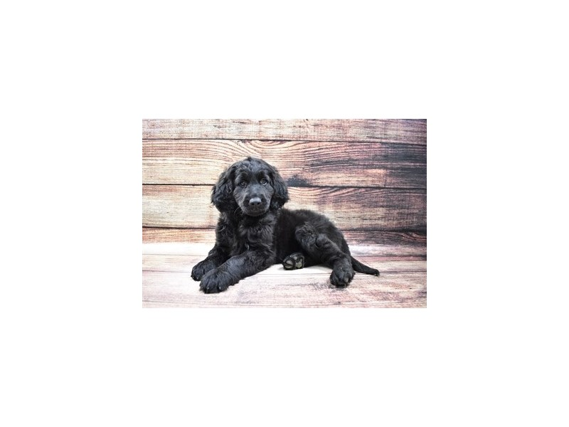 Goldendoodle-Female-Black-3015952-Petland Jacksonville Florida