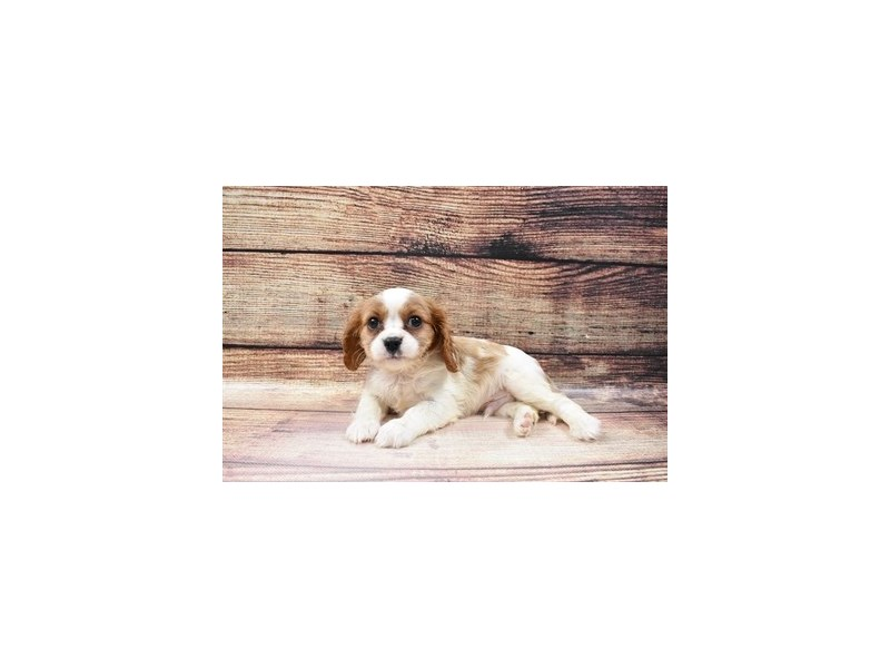 Cavalier King Charles Spaniel-Male-Red and White-3045744-Petland Jacksonville Florida