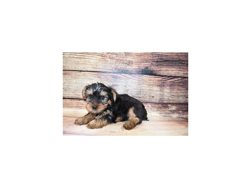 Yorkshire Terrier-Male-Black and Tan-3056814-Petland Jacksonville Florida