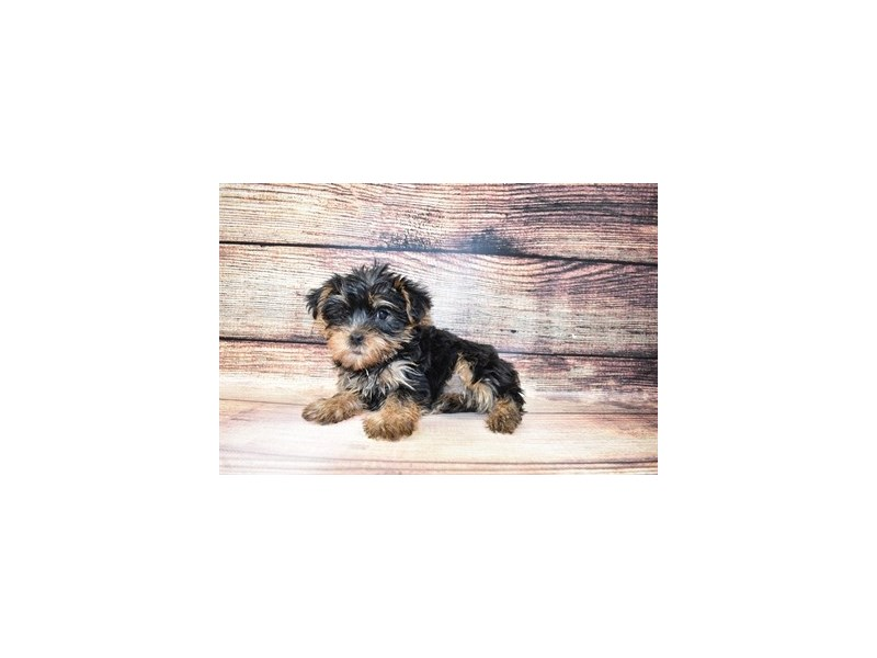 Yorkshire Terrier-Female-Black and Tan-3056816-Petland Jacksonville Florida